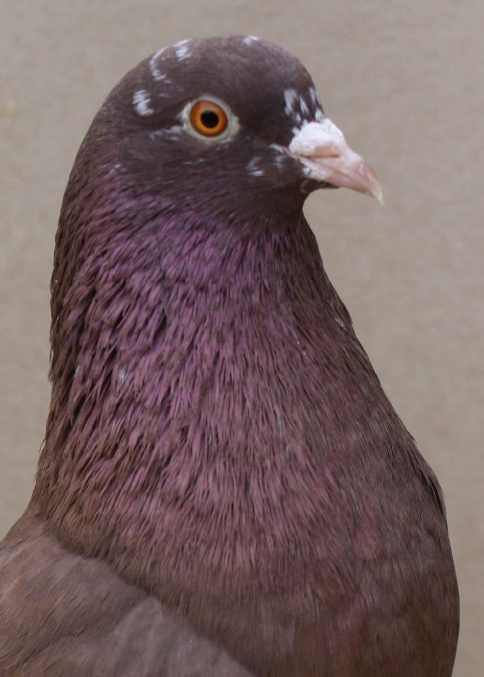 Roller pigeons - photo#35